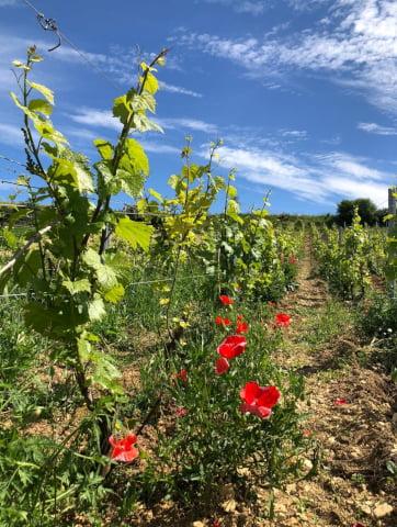 Vignes de chardonnay et coquelicots